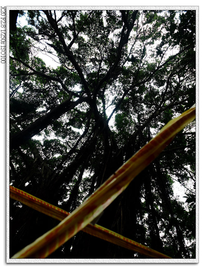被封鎖線圍起來的老榕樹