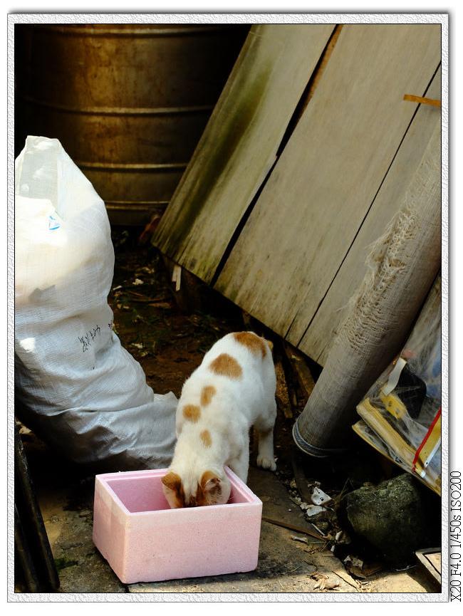 瑞井社區-貓