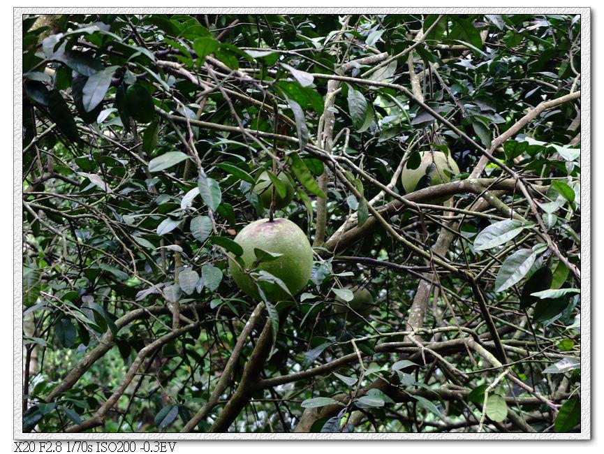 中秋節要到了,柚子也成熟了