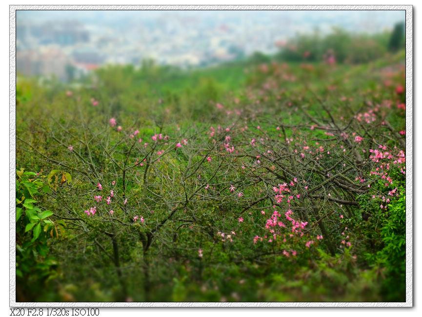 中心隴登山步道觀景台.2,下方遊樂器材邊的美人樹