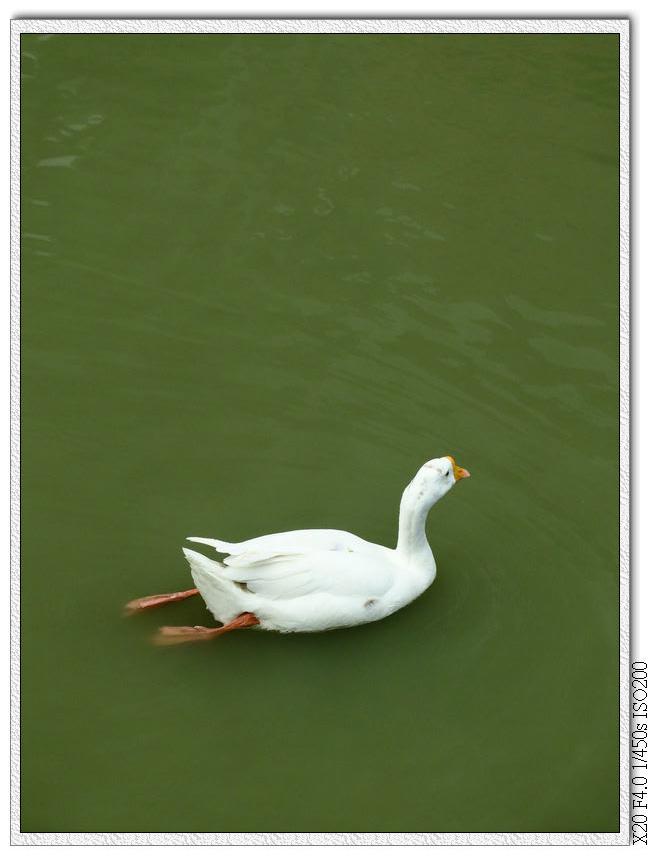 萊園.肥鵝