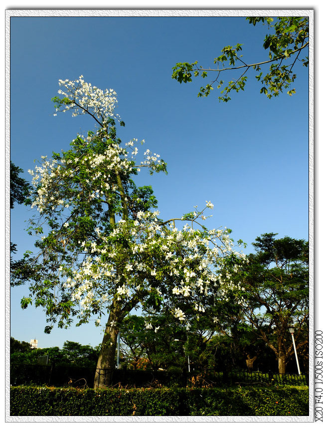 大里健康公園-白美人樹