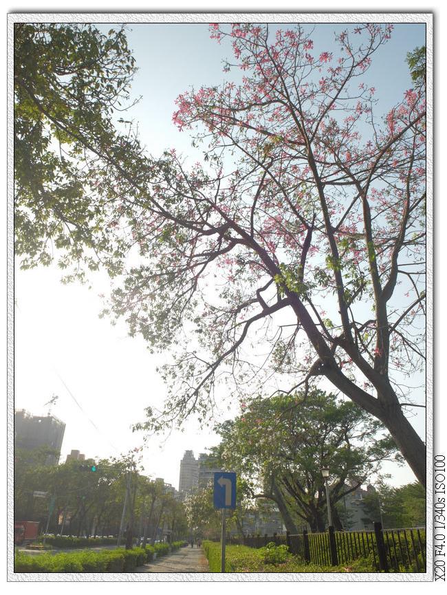 大里健康公園-美人樹