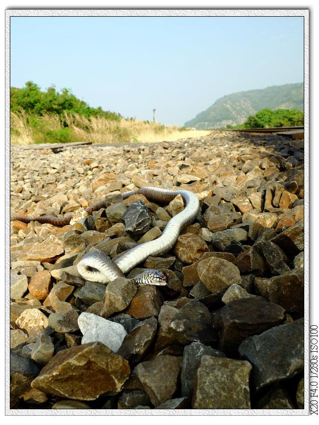 內獅火車站的死蛇