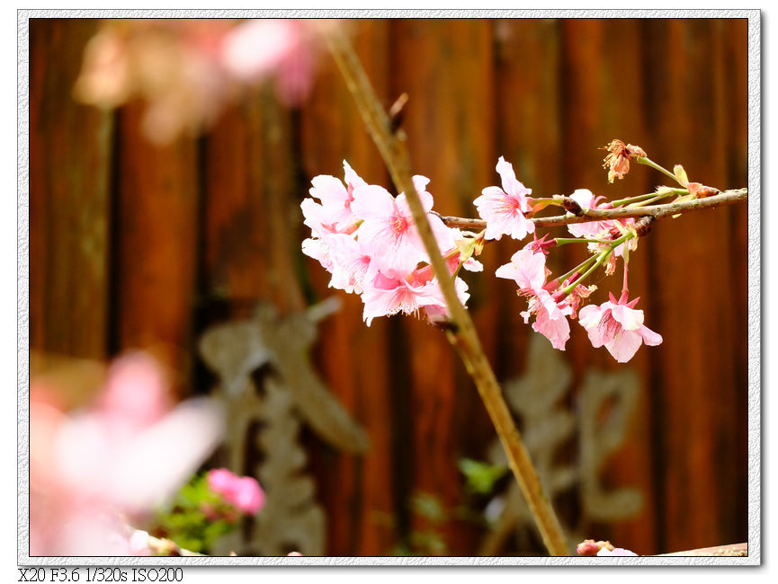 山櫻花開了