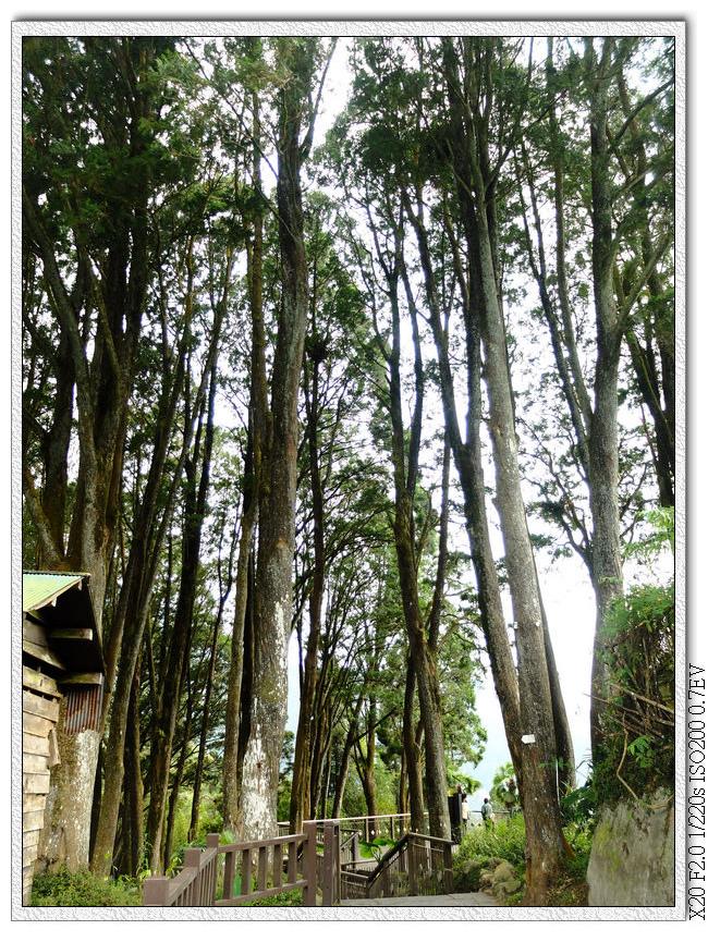 肖楠母樹林