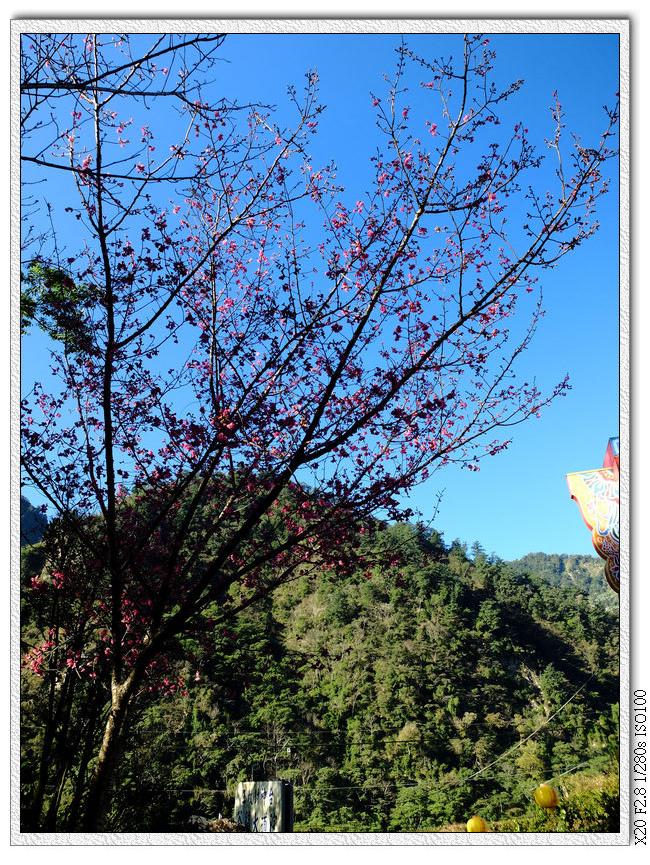 谷關大道院櫻花
