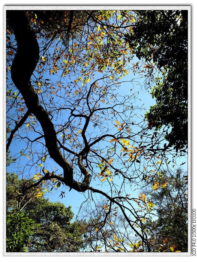 變色的葉子