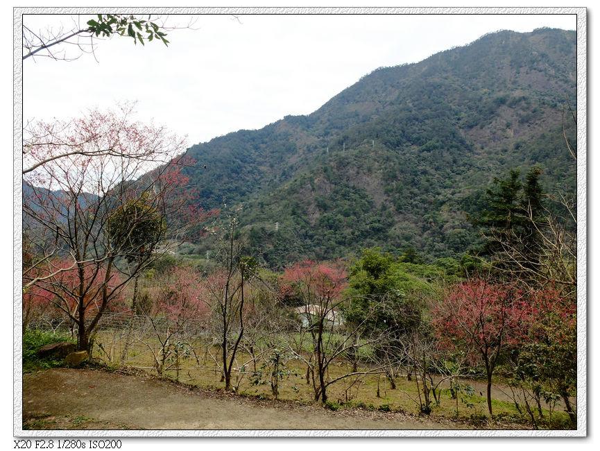 松鶴登山口櫻花林