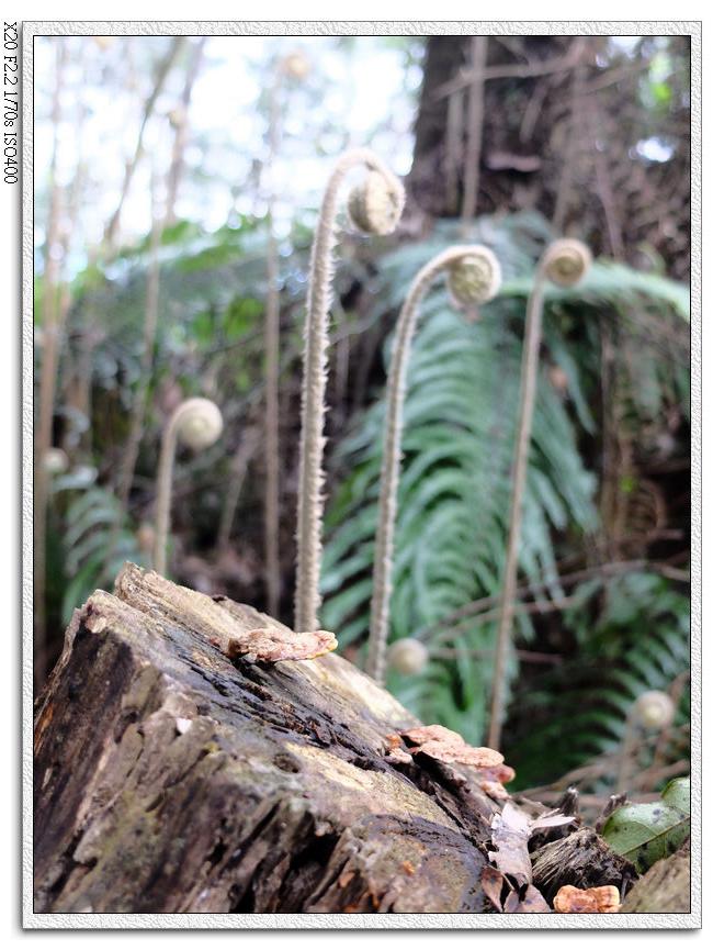 進入樹林後的蕨類