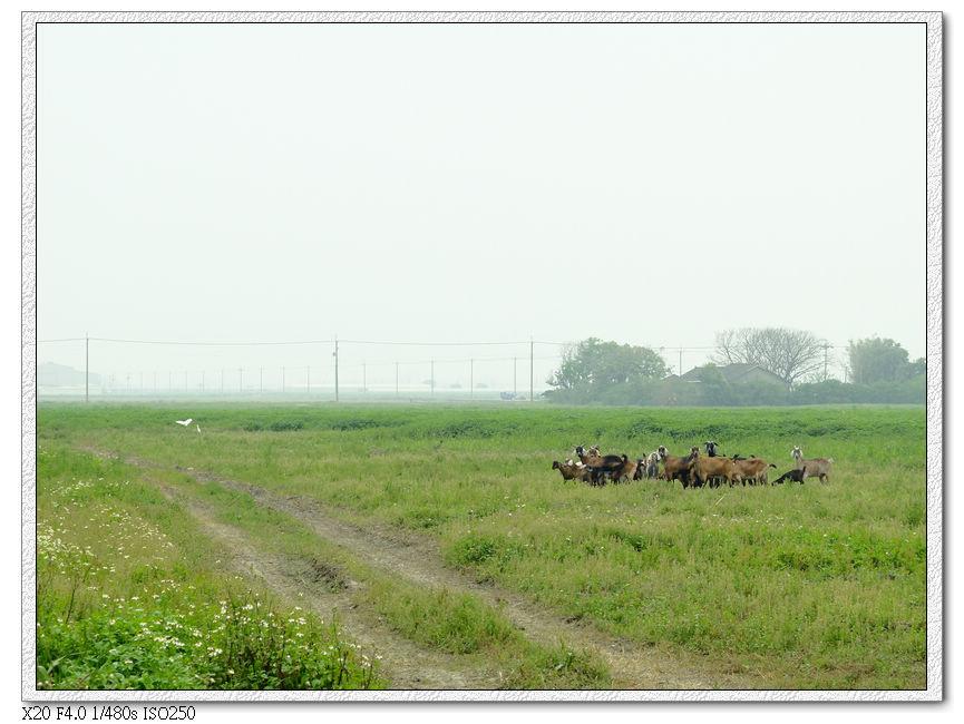 4/01 路邊看到放牧的山羊
