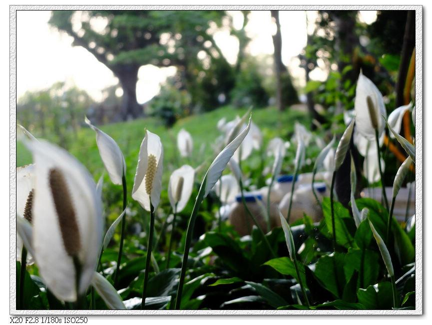 步道旁的花