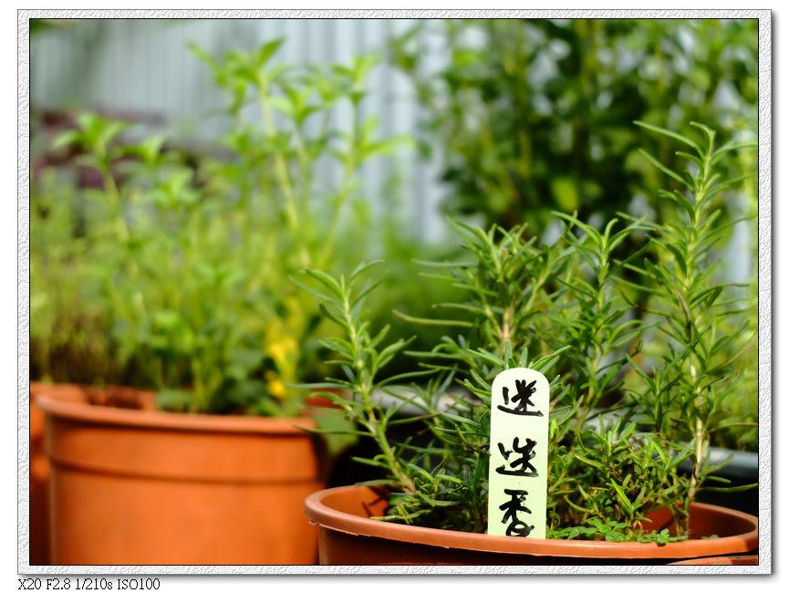 綠萼春風-香草