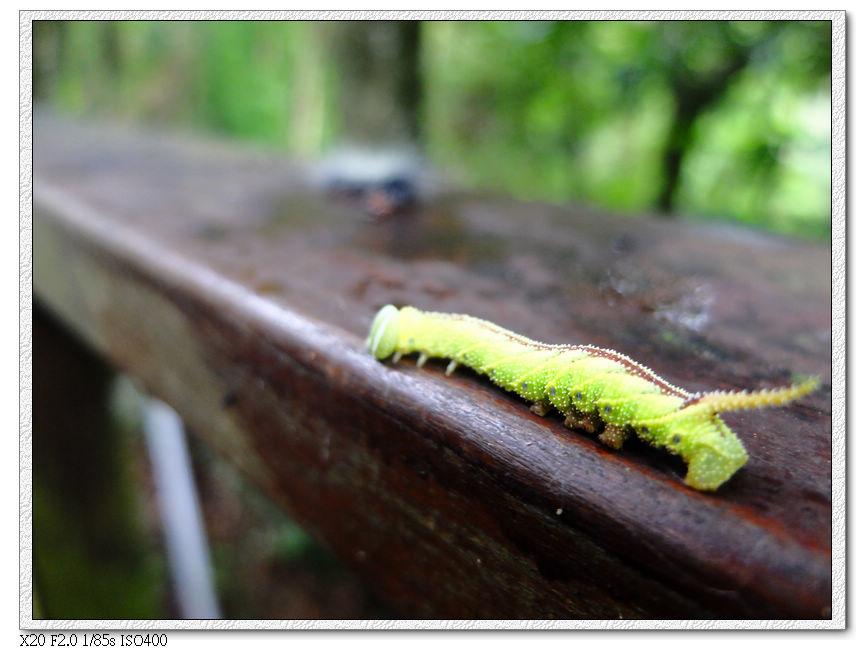 另一種毛毛蟲