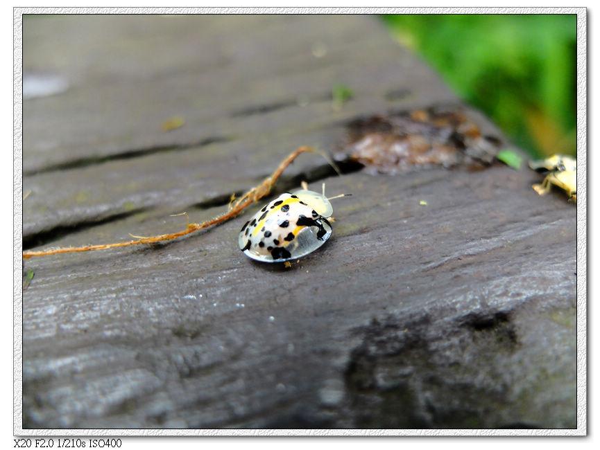 充滿清涼感的透明小瓢蟲(大黑星龜金花蟲)