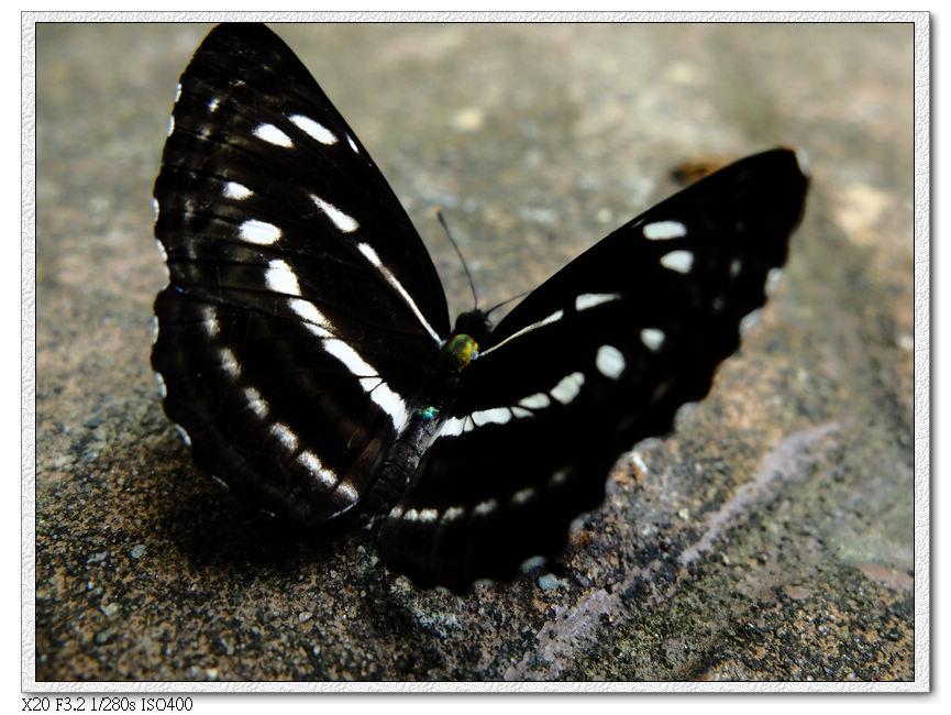 黑肥毛毛蟲變的蝴蝶?