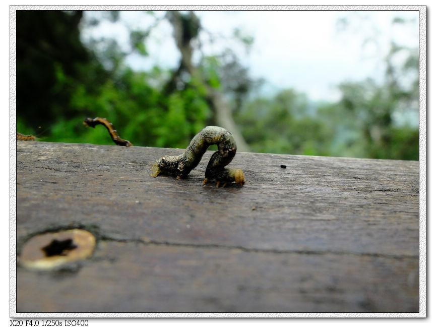 把身體拱著走的蟲(尺蠖?)