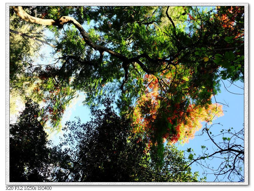 約農路鳳凰木