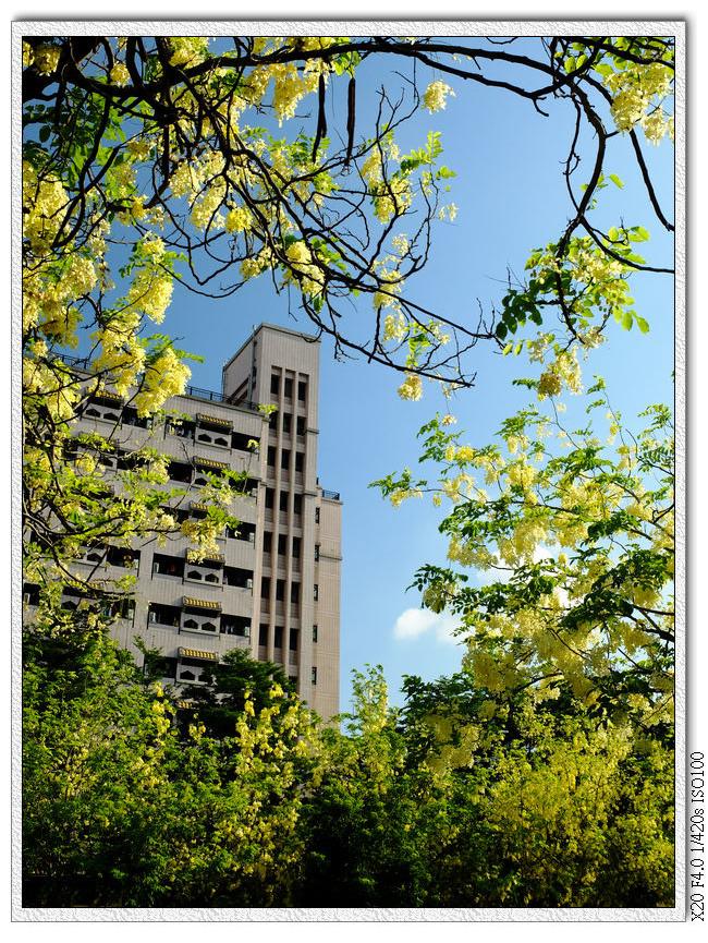 中興大學前阿勃勒