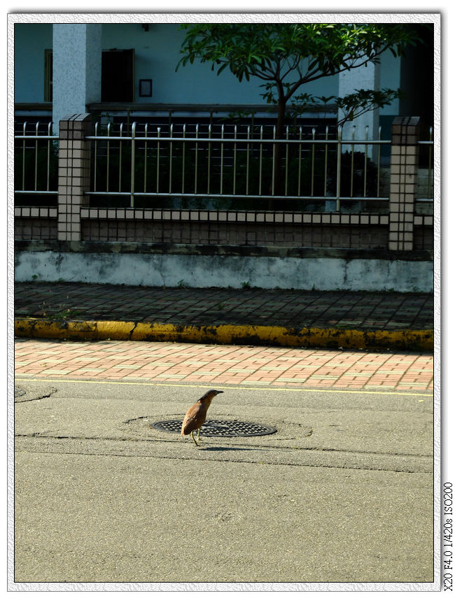 大笨鳥過馬路