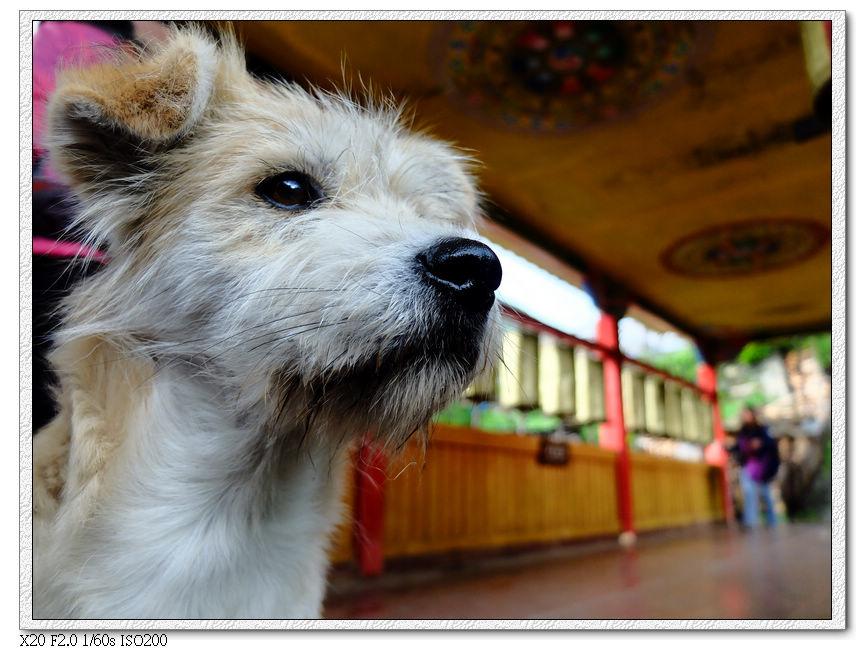 西索村小狗