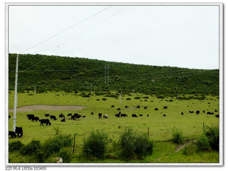 路邊放牧的牛