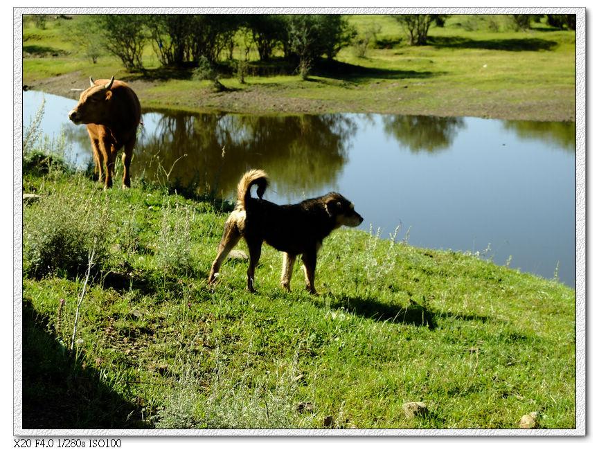 小黃牛跟小狗路過