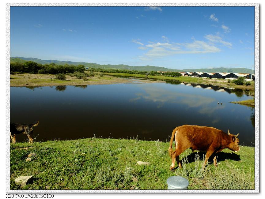 落單的小黃牛,牛界中的社會邊緣牛,幫QQ