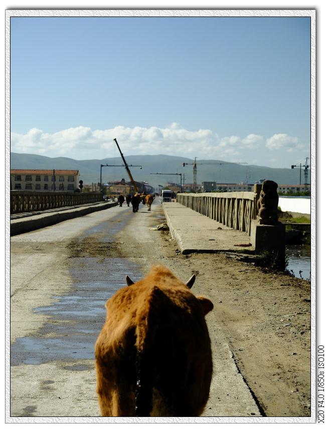 牛群要回家了,但前面的牛群完全不理小黃牛T T