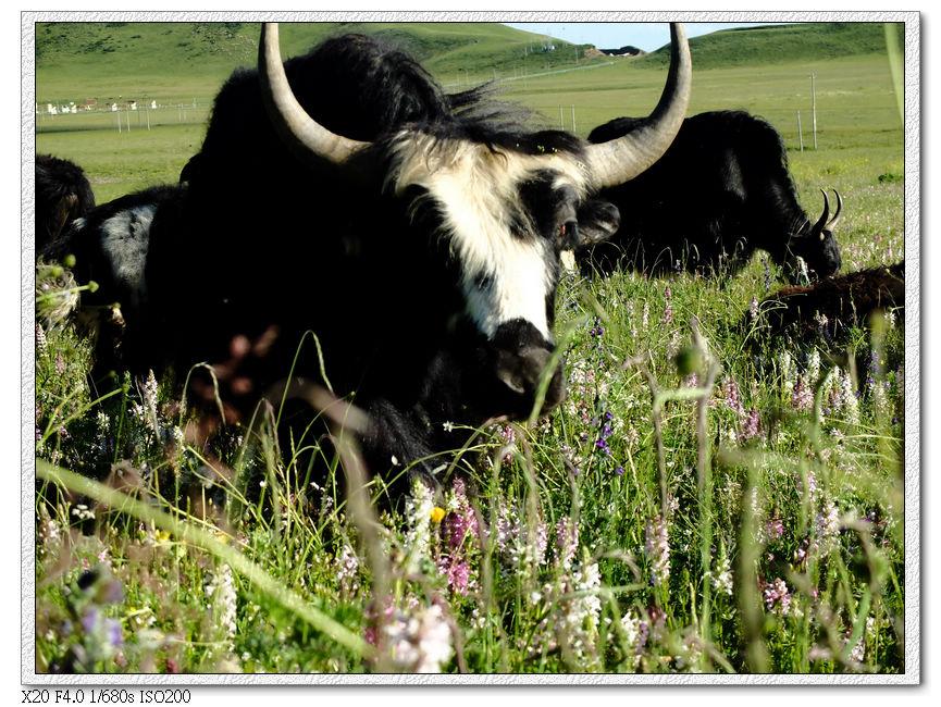 牦牛,然後他看著我,右手在地上刨土....應該是我看錯了吧?