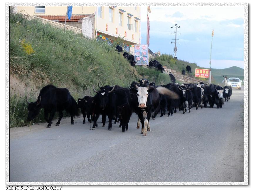 回家的牛群