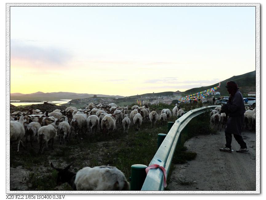 回家的羊群