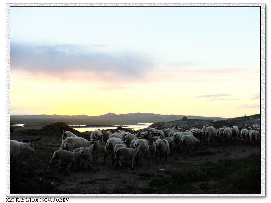 夕陽下的羊群