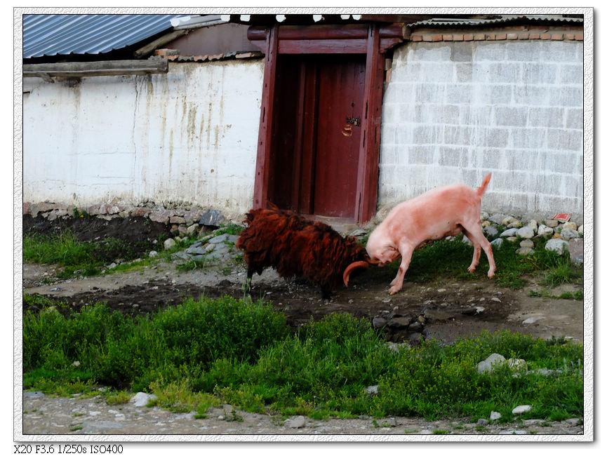 郎木寺羊在打架