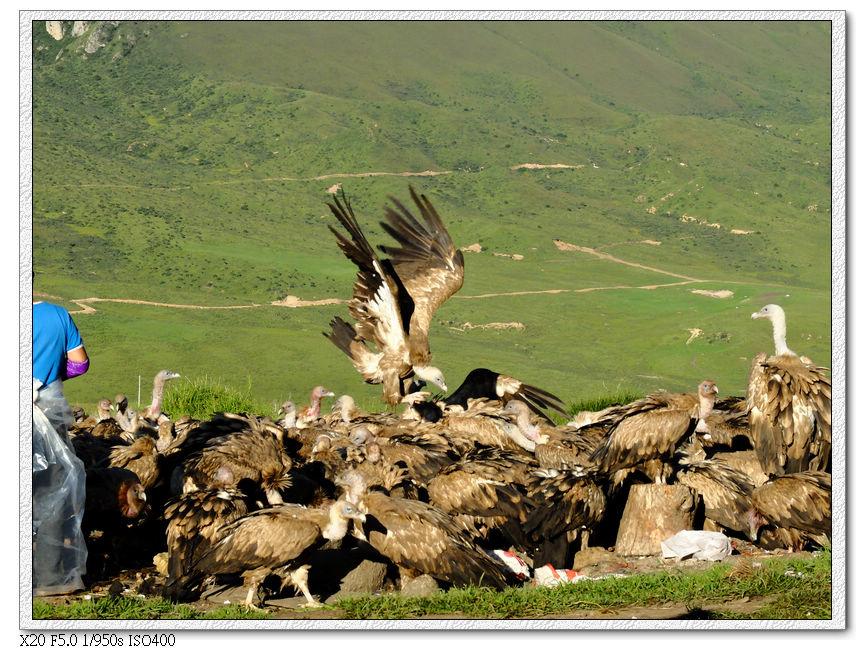 天葬禿鷲們