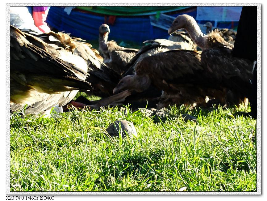 天葬禿鷲們跟吃剩的頭骨