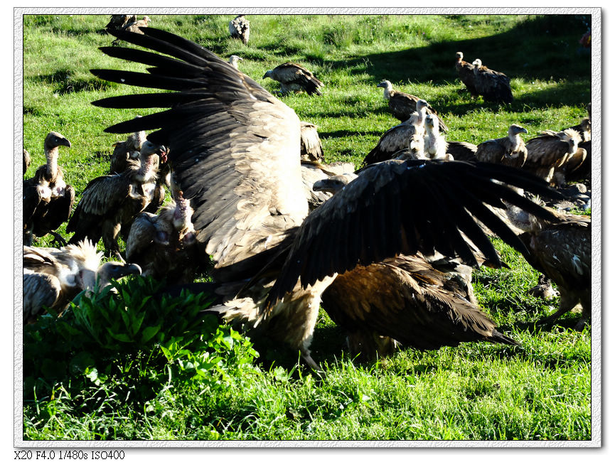 天葬的禿鷲們