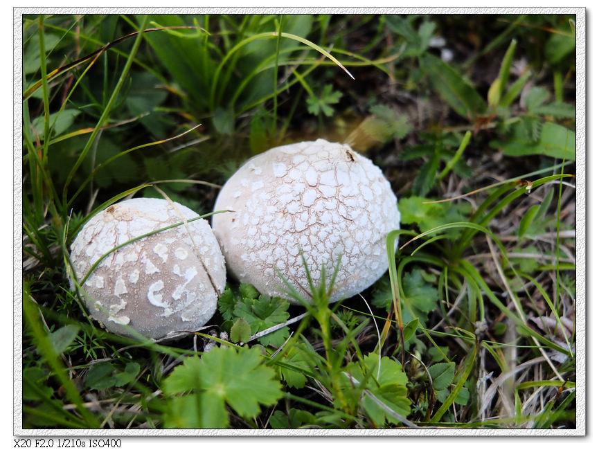 山上的洋菇
