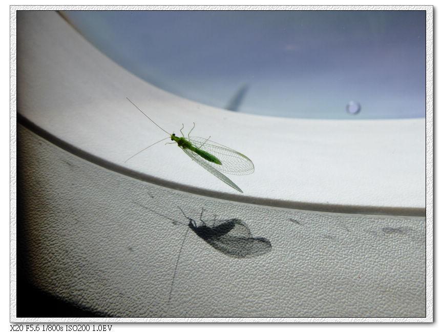 一隻綠蜻蜓一路跟回台灣