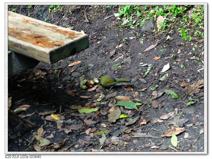 藪鳥在撿遊客吃剩的水果