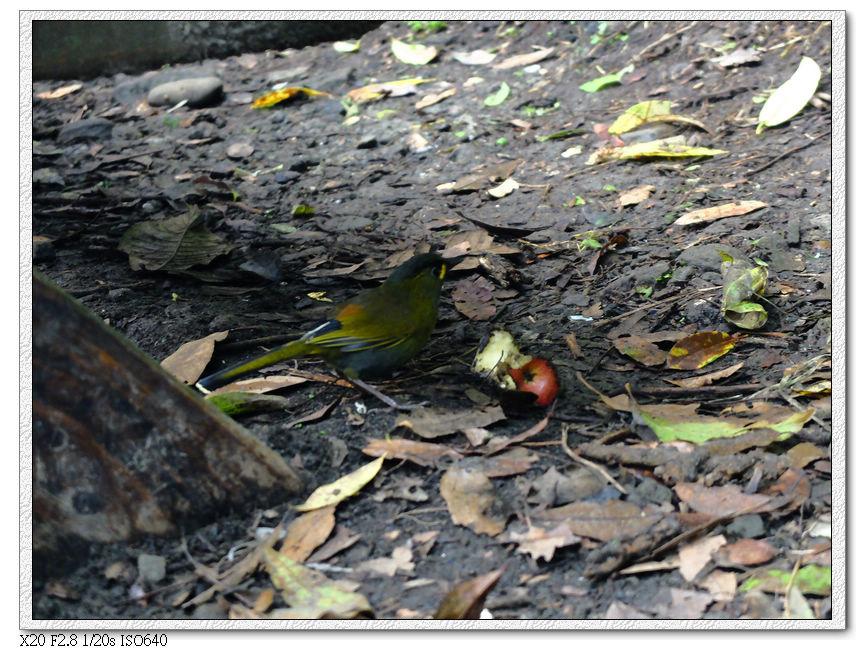 藪鳥,然後他們也不是很和平的小動物,為了搶蘋果打起來了