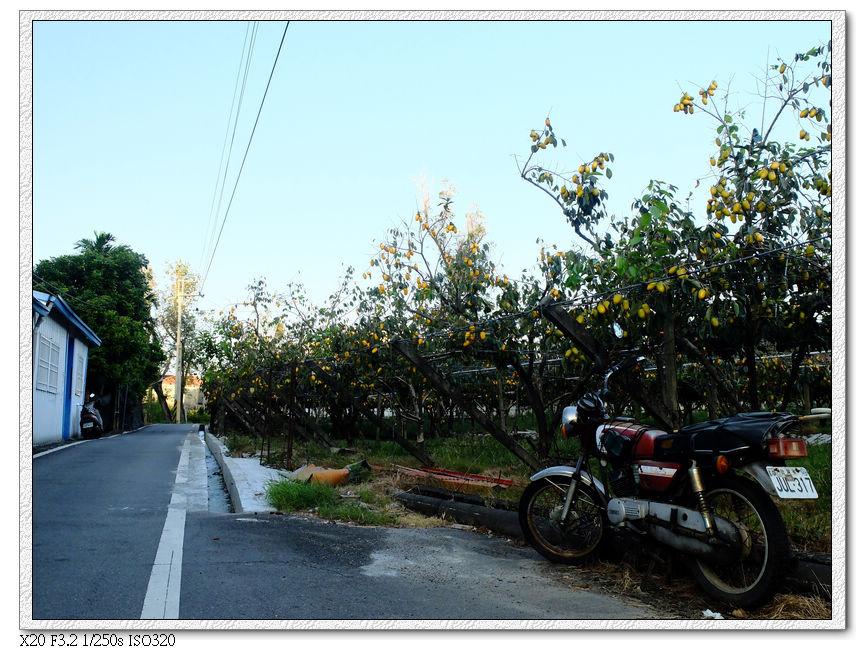 路邊全是黃澄澄的筆柿(?)