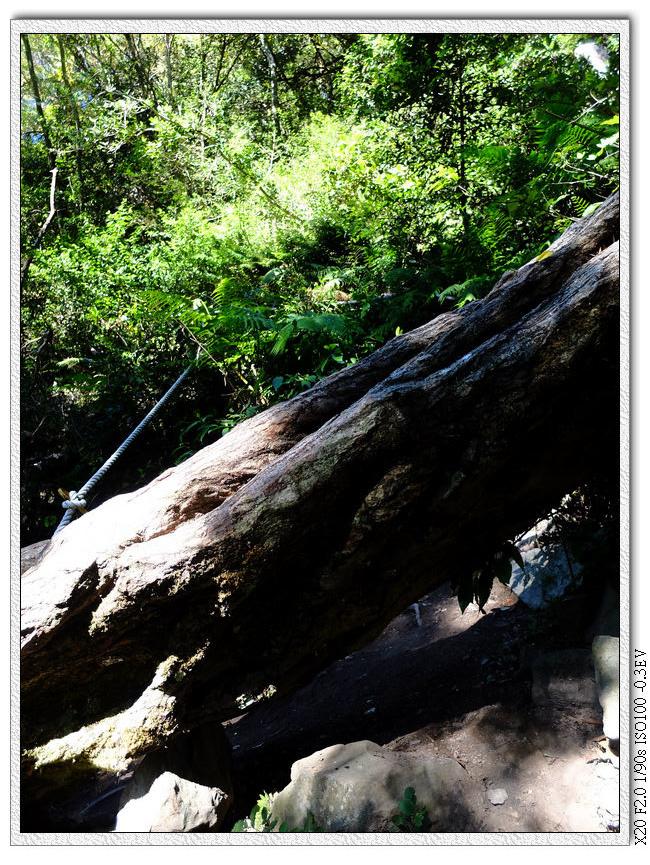中途遇到巨大的倒木橫壓步道,下方鑽不過去,要從被壓倒的圍欄那小心爬過去