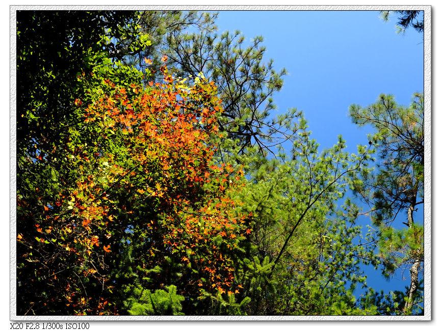 正在變色的楓葉