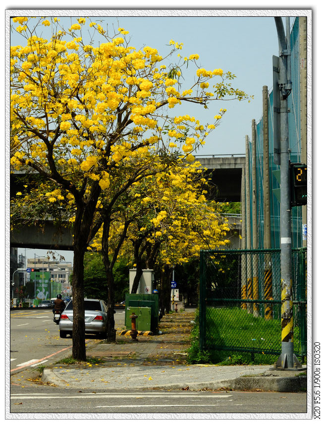 太順路-黃金風鈴木