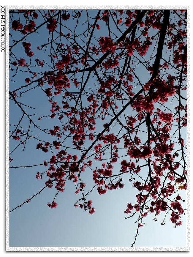 崇德榕園-山櫻花