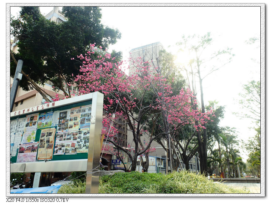 太原路-山櫻花