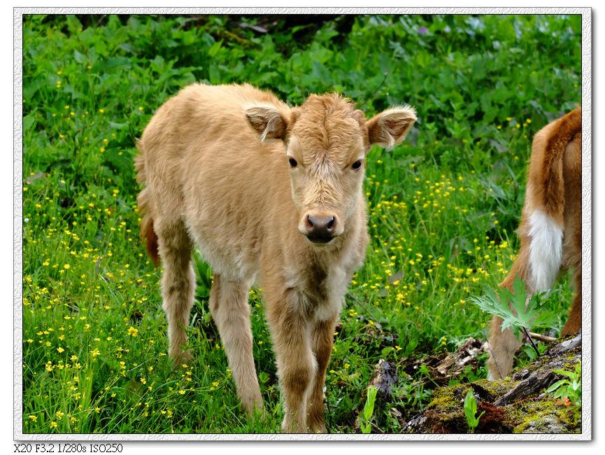 這是放養黃牛
