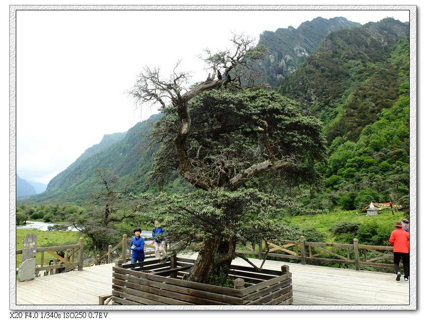 最後一站-人蔘果坪-天然盆景