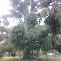 全台最大的聖誕樹